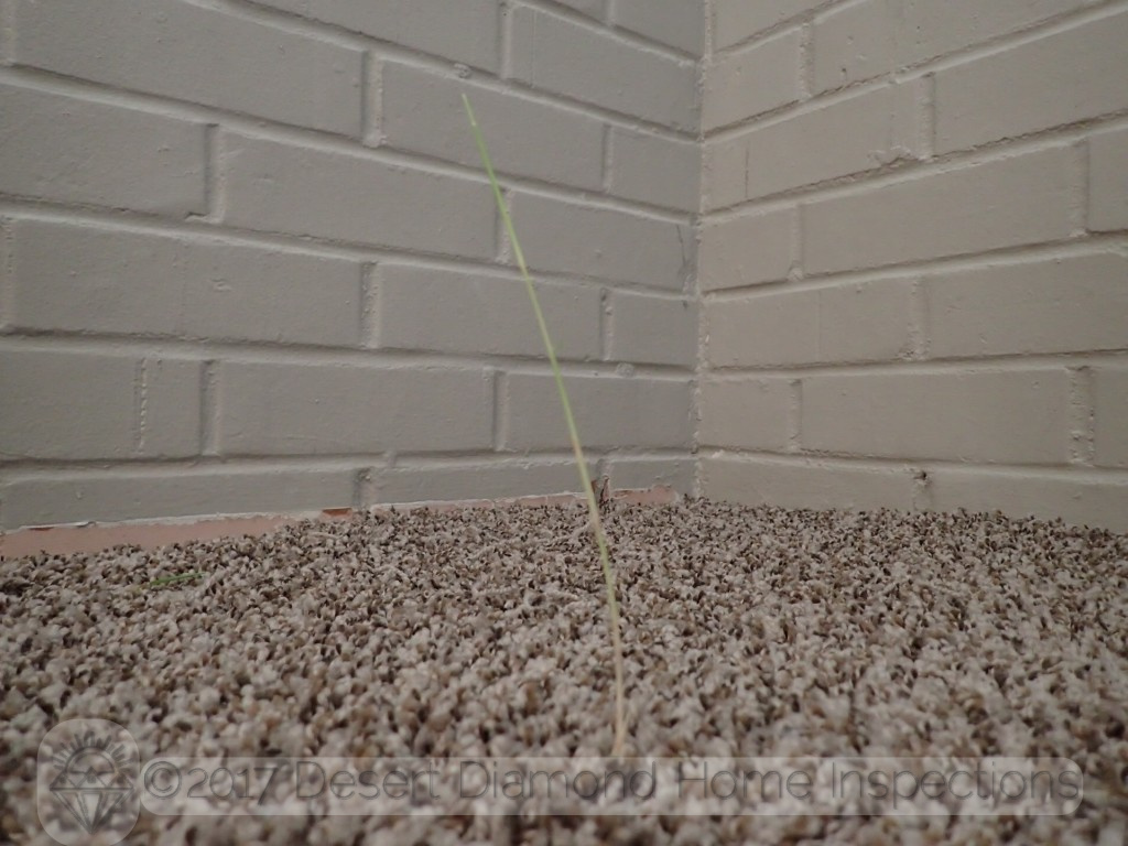 A lone weed managed to grow through a crack in the slab and through the carpet