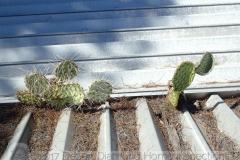 Cactus growing on a patio cover